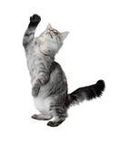 De grijze kattenkosten met de opgeheven poot Royalty-vrije Stock Afbeelding