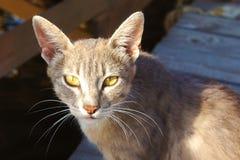 De grijze kattenlynx met afluisteraar en gele ogen ligt kijkend dakloos in de zon stock afbeelding
