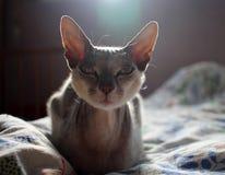 De grijze kattensfinx Shorthair kijkt recht met royalty-vrije stock foto