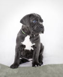 De grijze kleur van puppycane corso op de achtergrond Royalty-vrije Stock Foto's