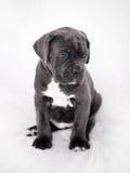 De grijze kleur van puppycane corso op de achtergrond Royalty-vrije Stock Afbeelding