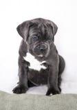 De grijze kleur van puppycane corso op de achtergrond Royalty-vrije Stock Foto