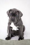 De grijze kleur van puppycane corso op de achtergrond Stock Afbeeldingen