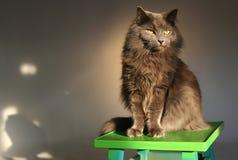 De grijze longhair kat zit op een groene kruk tegen een grijze studioachtergrond royalty-vrije stock afbeeldingen
