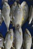 De grijze overzees gezouten vissentonijn in twee rijen legt tegen een blauwe achtergrond, vissers` s vangst voor verkoop Royalty-vrije Stock Foto