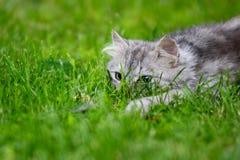 De grijze pluizige dwaze gezichtskat jacht in gras die stuk speelgoed achtervolgen stock afbeeldingen