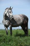 De grijze poney van Nice met teugel die zich in het gras bevinden stock foto