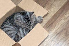 De grijze slaap van de gestreepte katkat in een kleine doos, het concept een huis voor Stock Fotografie
