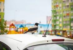 De grijze stedelijke kraai zit op de dak geparkeerde auto Royalty-vrije Stock Afbeelding