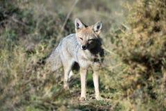 De grijze vos jacht op het gras stock afbeeldingen