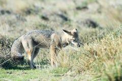 De grijze vos jacht op het gras stock afbeelding