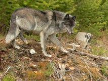 De grijze Wolf snuffelt rond royalty-vrije stock afbeeldingen