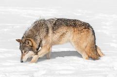 De grijze Wolf (wolfszweer Canis) snuffelt door Sneeuw rond Stock Foto's