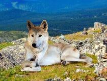 De grijze wolf zit op steen Royalty-vrije Stock Afbeeldingen