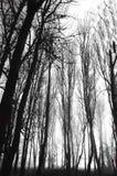 De grimmige Bomen van de Winter Stock Foto