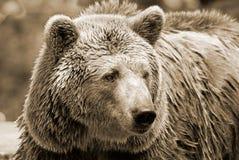 De grizzly stock afbeeldingen