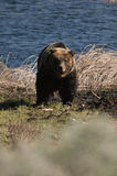 De grizzly staart Stock Foto's