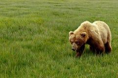 De Grizzly van Alaska stock fotografie