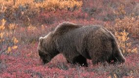 De grizzly van Alaska of bruin draagt in de wildernis stock footage