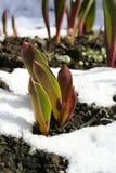 De groei door sneeuw Stock Fotografie