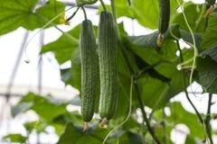 De groei en het bloeien van serrekomkommers de Bush-komkommers op het latwerk Komkommers het verticale planten Groeiend organisch Stock Foto