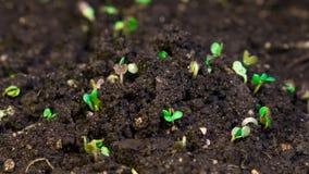 De groei microgreens, timelapse videofilm stock footage