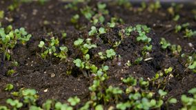 De groei microgreens, timelapse videofilm stock video