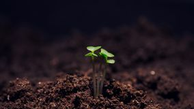 De groei microgreens, timelapse videofilm stock video