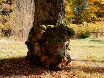 De groei op de boomstam van een zeer oude berk stock foto