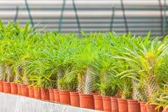 De groei van cactussen in een serre Stock Foto's