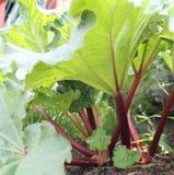 De Groei van de rabarberlente Royalty-vrije Stock Foto's