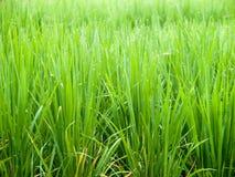 De groei van de rijst Royalty-vrije Stock Afbeelding