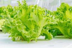 De groei van de saladegroente Stock Foto