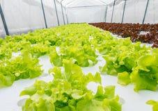 De groei van de saladegroente Royalty-vrije Stock Foto's