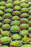 De groei van echeveriacactussen in een serre stock foto's