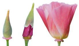 De groei van een bloem Stock Afbeelding