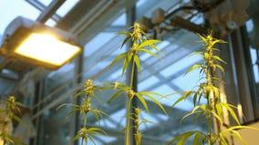 De groei van het cultuurlaboratorium bloeit hennep, reflector lichte direct, de medische cannabis van de onderzoekwetenschap voor stock footage