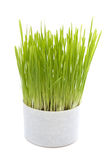 De groei van het gras in een pot Stock Fotografie