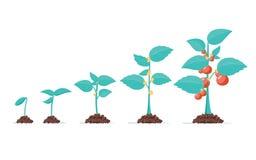 De groei van het tomatenstadium Het levenscyclus van een tomatenplant, een blad, een bloem en fruiting stadia Vector vlakke stijl vector illustratie
