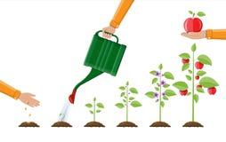 De groei van installatie, van spruit aan fruit vector illustratie