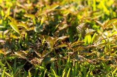 De Groei van mimosapudica ter plaatse in ochtend gevoelige installatie, Royalty-vrije Stock Fotografie