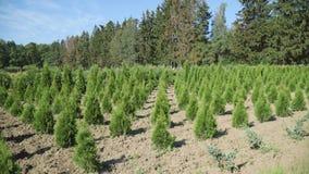 De groei van zaailingenthuja op aanplanting Vele groene die thujabomen in rij worden geplant stock videobeelden