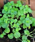 De groeiende Bladeren van de Munt Stock Fotografie
