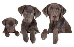 De groeiende stadia van de hond Stock Fotografie