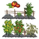 De groeistadia van tomaten, landbouw, vector stock illustratie