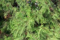 De groene Achtergrond altijdgroene boomtakken sluiten omhoog royalty-vrije stock fotografie