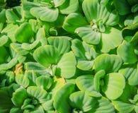 de groene achtergrond Pistia van de watersla stratiotes Royalty-vrije Stock Afbeeldingen
