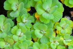 De groene achtergrond Pistia van de watersla stratiotes royalty-vrije stock afbeelding
