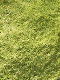 De groene Achtergrond van algen Stock Foto's