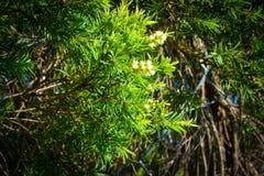 De groene achtergrond van de Bladerenpijnboom, Pijnboombladeren is groen en de bloemen zijn wit stock afbeelding